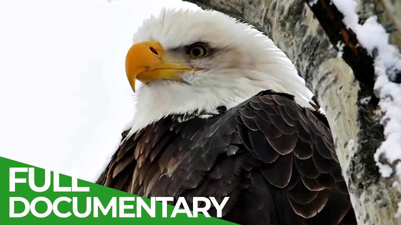 Eagles: The Kings of the Sky   Free Documentary Nature